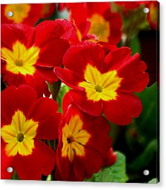 Red Primroses Acrylic Print by Art Block Collections