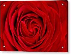 Red Rose Acrylic Print by Aqnus Febriyant