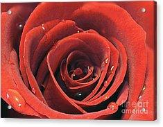 Red Rose Acrylic Print by Lars Ruecker