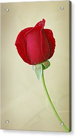 Red Rose On White Acrylic Print by Sandy Keeton