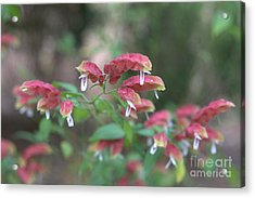 Red Shrimp Plant Acrylic Print by Liane Wright