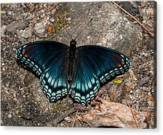 Red Spotted Purple Butterfly Acrylic Print by Lara Ellis