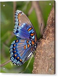 Red Spotted Purple Butterfly Acrylic Print by Sandy Keeton