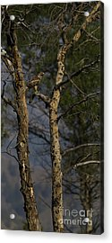 Red-tail Hawk   #0596 Acrylic Print by J L Woody Wooden