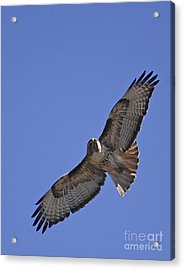 Red-tail Hawk  #1853 Acrylic Print by J L Woody Wooden