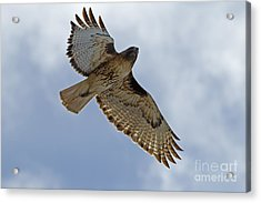 Red-tail Hawk #3094 Acrylic Print by J L Woody Wooden