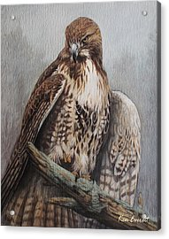 Red Tail Hawk Acrylic Print by Ken Everett