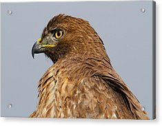 Red Tail Hawk Portrait Acrylic Print by Paul Marto
