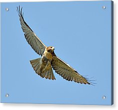 Red Tail In Flight Acrylic Print by Angel Cher