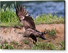Red Tail On The Hunt Acrylic Print by Paul Marto