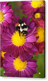 Red-tailed Bumble Bee Acrylic Print by Christina Rollo