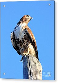 Red-tailed Hawk . 40d10167 Acrylic Print by Wingsdomain Art and Photography