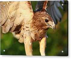 Red Tailed Hawk Hunting Acrylic Print by Dan Sproul