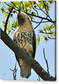 Red Tailed Hawk Juvy Acrylic Print by Angel Cher