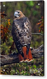 Red Tailed Hawk Acrylic Print by Todd Bielby