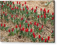 Red Tulip - 01131 Acrylic Print by DC Photographer
