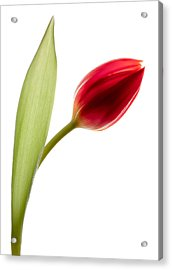 Red Tulip Acrylic Print by Dave Bowman