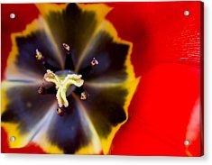 Red Tulip Macro Acrylic Print by Adam Romanowicz