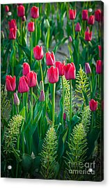 Red Tulips In Skagit Valley Acrylic Print by Inge Johnsson