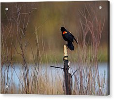 Red Winged Blackbird 2 Acrylic Print by Ernie Echols