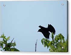 Red Winged Blackbird In Taking Off Acrylic Print by Andrew Lahay