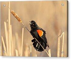 Red Winged Blackbird On Cattail Acrylic Print by Daniel Behm