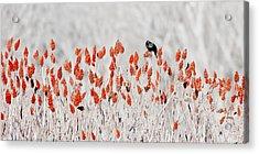 Red-winged Blackbird Acrylic Print by Steven Ralser