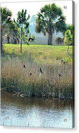Red Winged Blackbirds Acrylic Print by Jan Amiss Photography