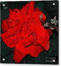 Red Winter Rose Acrylic Print by Kathleen Struckle