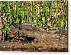 Reptile Relaxation Acrylic Print by Al Powell Photography USA
