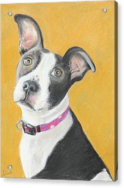 Rescued Pit Bull Acrylic Print by Jeanne Fischer