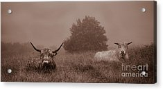 Resting Beasts Acrylic Print by Linsey Williams
