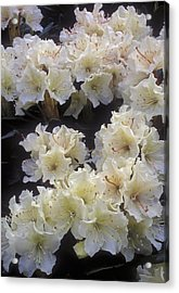 Rhododendrons Acrylic Print by Anonymous