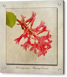 Ribes Sanguineum  Flowering Currant Acrylic Print by John Edwards