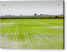 Rice Growing In Paddy Fields  Acrylic Print by Ashley Cooper