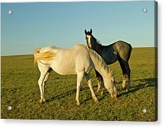 Riding Horses On Ranch Near Gonzales Acrylic Print by Larry Ditto