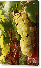 Ripe Grapes Acrylic Print by Alex Sukonkin