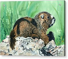 Rmbl Marmot Acrylic Print by Barbara Jewell