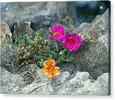 Rock Rose Acrylic Print by Corina Bishop