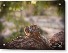 Rock Squirrel In Zion Acrylic Print by Robert Bales