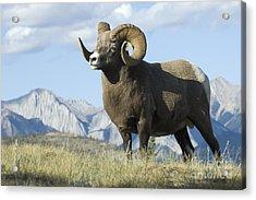 Rocky Mountain Big Horn Sheep Acrylic Print by Bob Christopher