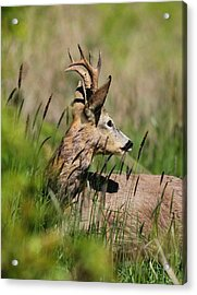 Roe Deer Acrylic Print by Dragomir Felix-bogdan