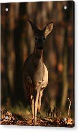 Roe Deer Female Acrylic Print by Dragomir Felix-bogdan