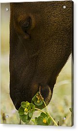 Roosevelt Elk Solemnly Feeding On The Beach Acrylic Print by Phil Johnston