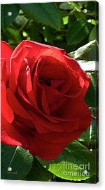 Extraordinary Rose For You M12 Acrylic Print by Johannes Murat