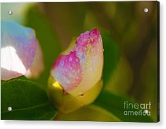 Rose Bud Acrylic Print by Cheryl Young