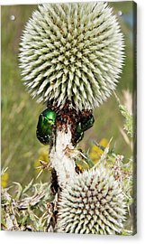 Rose Chafers And Ants On Thistle Flowers Acrylic Print by Bob Gibbons