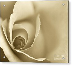Rose Close Up - Gold Acrylic Print by Natalie Kinnear