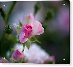 Rose Emergent Acrylic Print by Rona Black