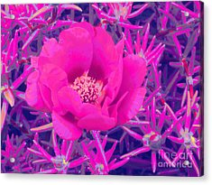 Rose Moss Single Acrylic Print by Margaret Newcomb